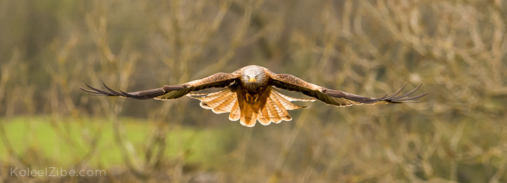 Red kites may be large, but they