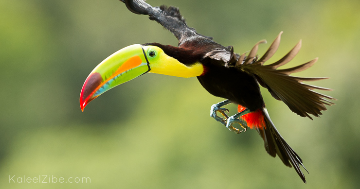 20140109-_ND45933 Keel-billed toucan-Costa Rica-How to photograph birds in flight-KaleelZibe.com
