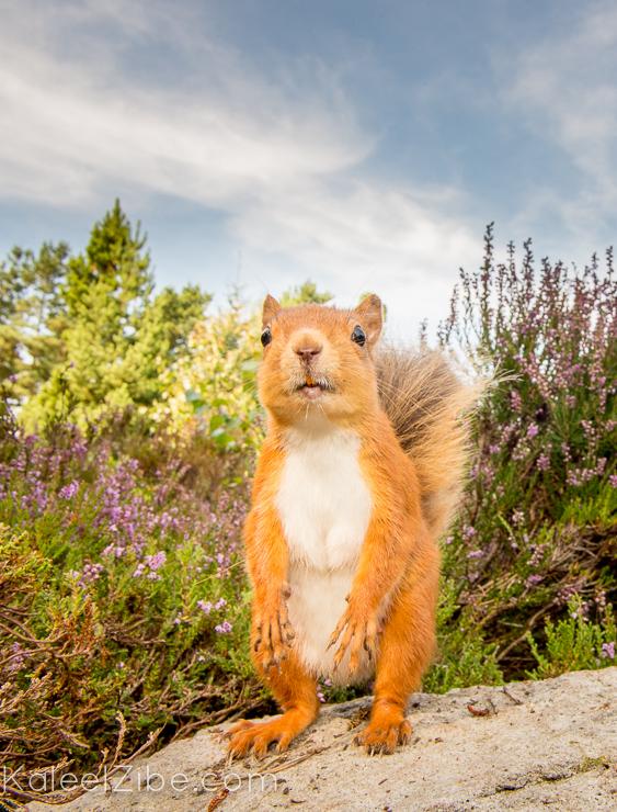 20140904-_ND49776-red squirrel-KaleelZibe.com