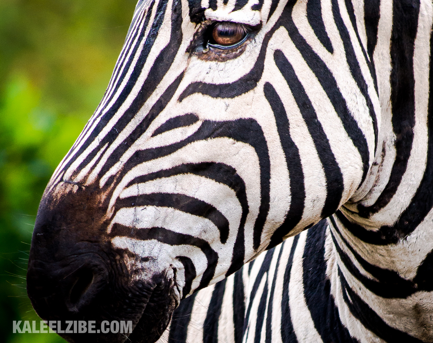 A zebra stallion. How do I know it's a stallion? Let's say there's a reason I cropped in on his face