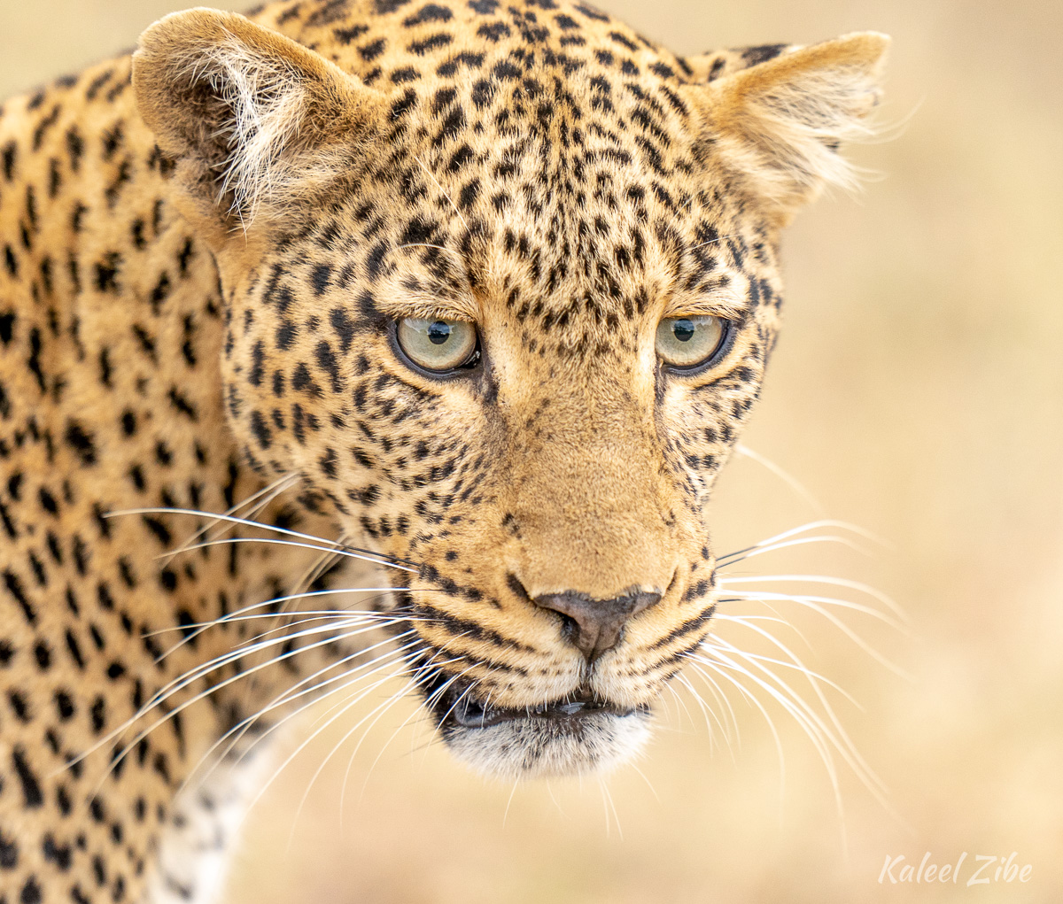 Female leopard close-up, Maasai Mara, Kenya